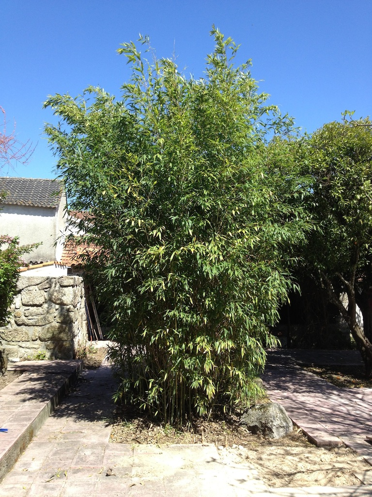 The bamboo bush before we pruned it