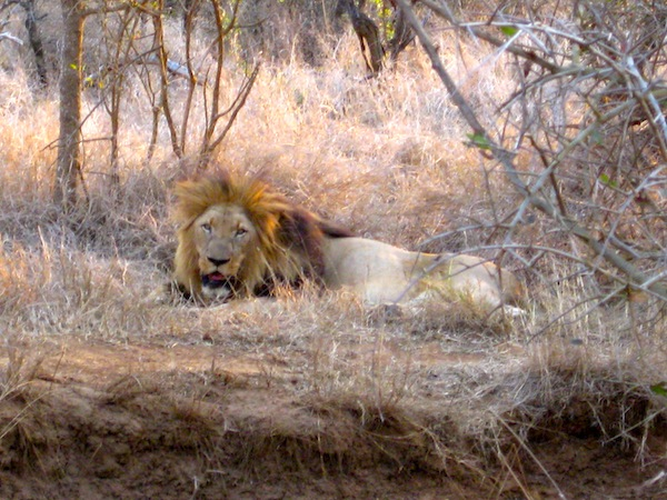 A lion in Africa